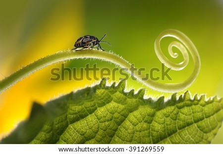 Beautiful insects on a leaf close-up, beautiful glowing background, beautiful light, spiral plant, leaf close-up.  - stock photo