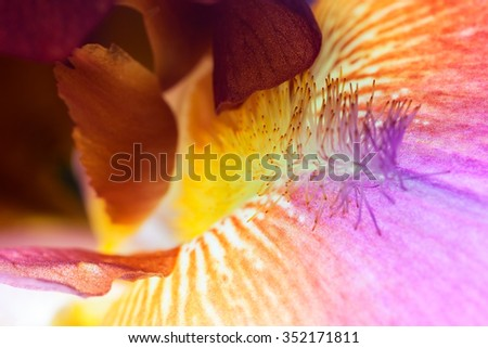 beautiful iris flower close-up. Macro