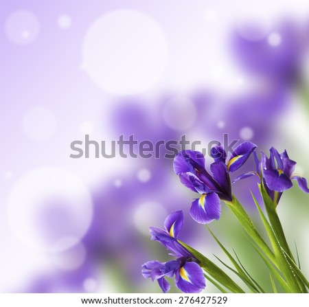 Beautiful Iris flowers on bright background - stock photo