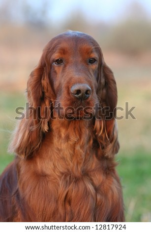 Beautiful Irish Setter dog portrait