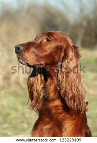 Beautiful Irish Setter female portrait - stock photo