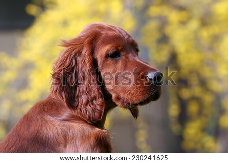 Beautiful Irish Setter female puppy looking - stock photo