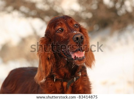 Beautiful Irish Setter looking in winter - stock photo