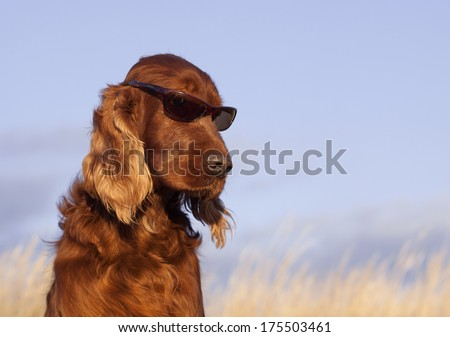 Beautiful Irish Setter male taking a sun-bath - stock photo