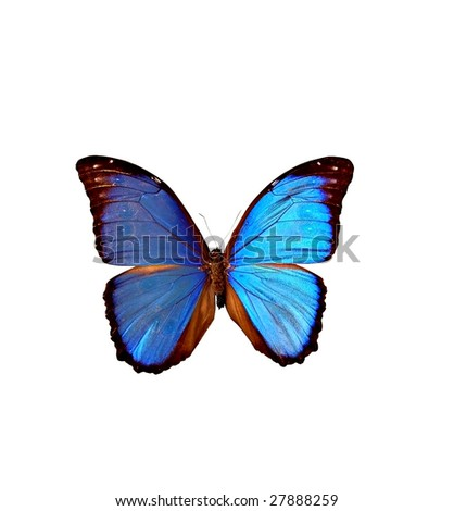Beautiful isolated blue butterfly - stock photo
