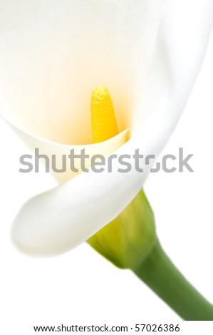 Beautiful isolated calla over white background - stock photo