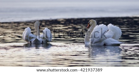 Beautiful isolated image with two mute swans in the lake on sunset - stock photo