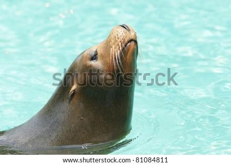 Beautiful isolated sea lion closeup - stock photo