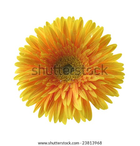 beautiful isolated yellow gerbera flower, isolated on white background, ideal for natural or season designs.