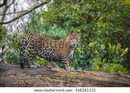 Beautiful Jaguar animal in it's natural habitat - stock photo