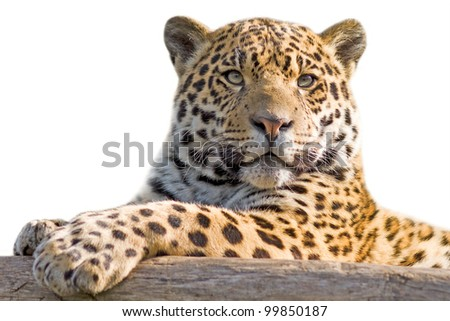 Beautiful jaguar cub closeup - isolated on white background