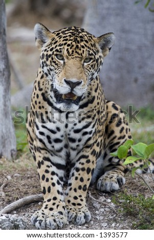 Beautiful jaguar looking right at you - stock photo