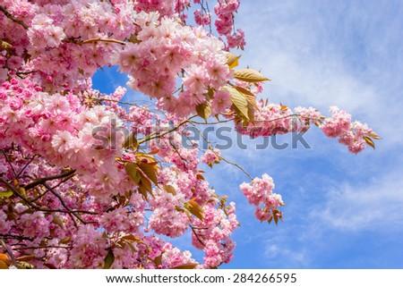 Beautiful Japanese cherry tree blossom in May - stock photo