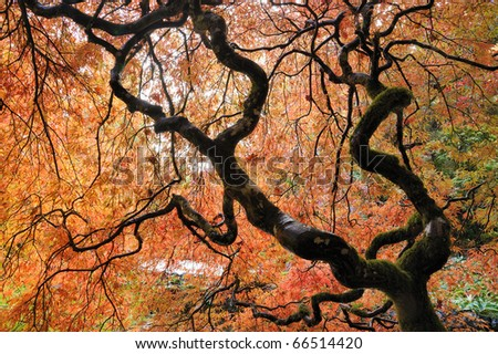 Beautiful japanese maple leaves in the historic butchart gardens in autumn , vancouver island, british columbia, canada - stock photo