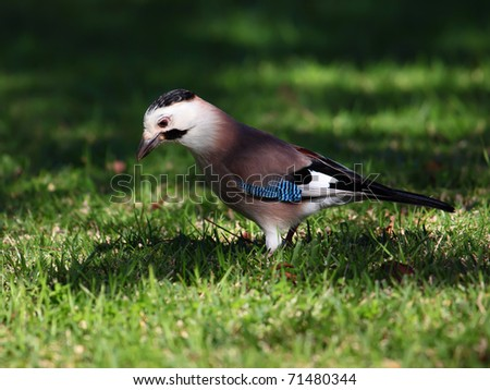 beautiful jay bird  on the grass
