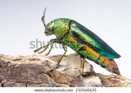 Beautiful Jewel Beetle or Metallic Wood-boring (Buprestid) isolated on white background - stock photo