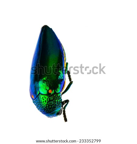 Beautiful Jewel Beetle or Metallic Wood-boring (Buprestid) top view isolated on white background. - stock photo