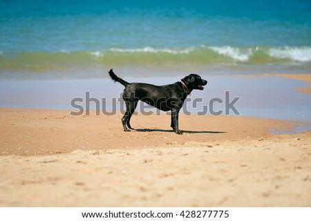 Beautiful joyful dog on the sandy beach sunny day background - stock photo
