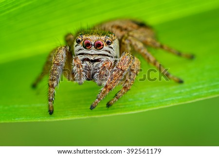 Beautiful  Jumping Spider on a green background. Evarcha arcuata. Superb Macro Shot. - stock photo