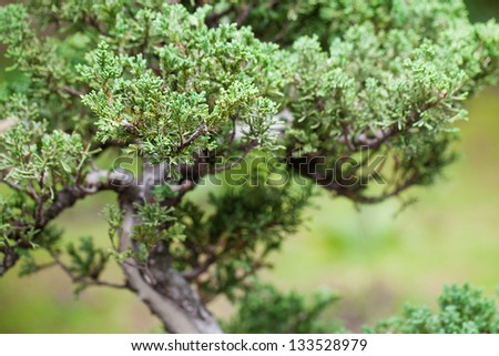 beautiful juniper bonsai  in a botanical garden - stock photo