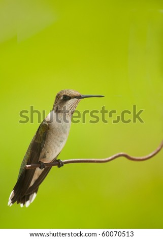 Beautiful juvenile male hummingbird sitting on a wire against bright green background - stock photo