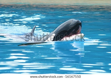 Beautiful killer whale - stock photo