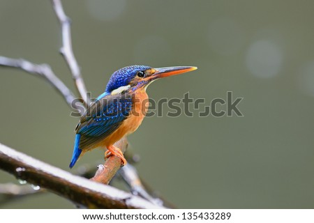 Beautiful Kingfisher, female Blued-eared Kingfisher (Alcedo meninting) sitting on a best perch with green background.
