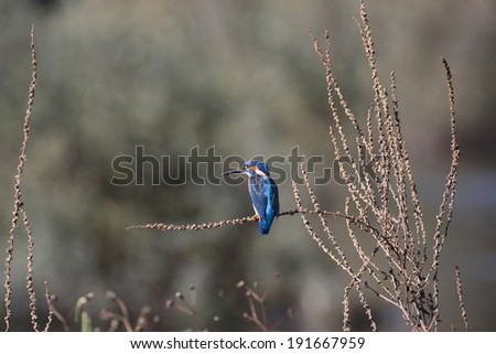 Beautiful kingfisher from Douro river, Porto, Portugal - stock photo
