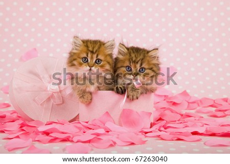 Beautiful kittens in Valentine pink box with rose petals - stock photo