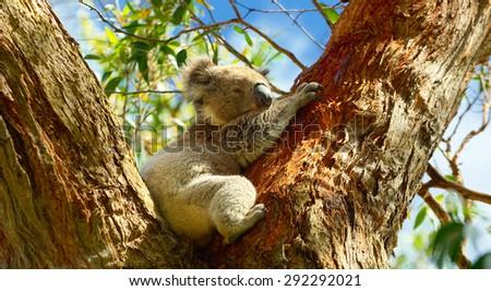 Beautiful Koala. Australia. National Park - stock photo