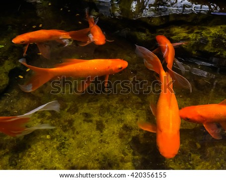 Koi pool stock photos images pictures shutterstock Koi fish swimming pool