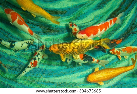 beautiful koi fishes swimming in the pond