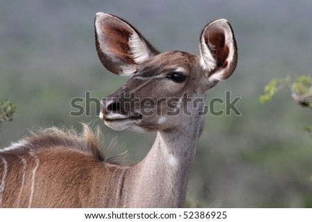 Beautiful kudu ewe antelope with huge ears