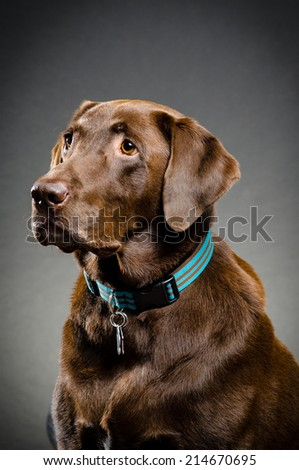 Beautiful lab - stock photo
