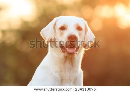 Beautiful Labrador close up in sunset lighting background. - stock photo