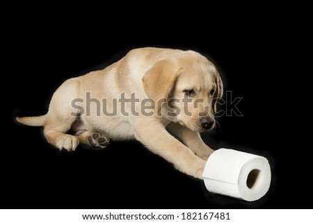 Beautiful Labrador retriever, champagne colored, isolated on black background with  toilet paper - stock photo