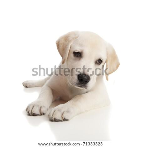 Beautiful labrador retriever cream puppy isolated on white background - stock photo