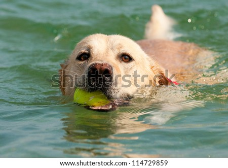 Beautiful Labrador Retriever dog swim in sea with ball - stock photo