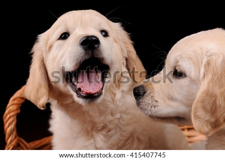 Beautiful Labrador retriever dogs