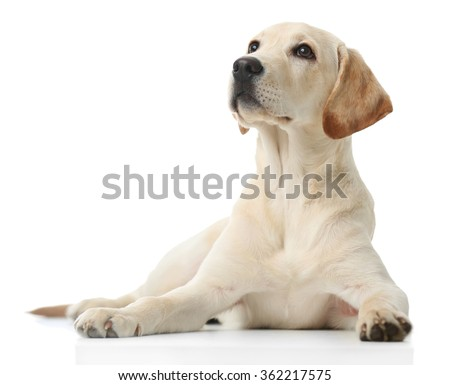 Beautiful Labrador retriever isolated on white background - stock photo