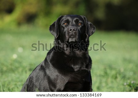 Beautiful labrador retriever looking at you in summer - stock photo