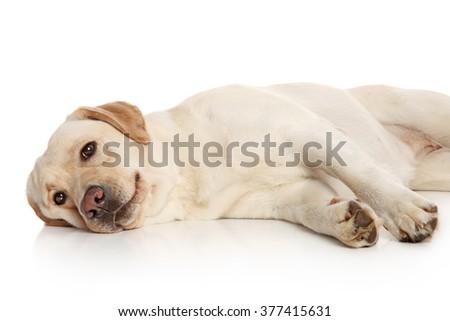 Beautiful Labrador retriever lying on white background - stock photo