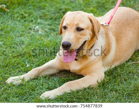 Beautiful Labrador Retriever on Fresh Green Grass