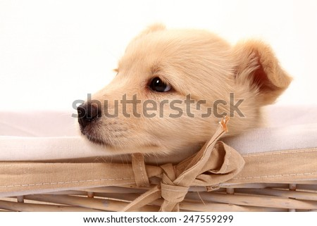 beautiful Labrador Retriever Puppy - stock photo