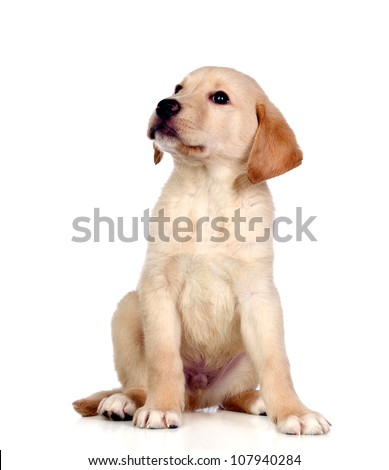 Beautiful Labrador retriever puppy isolated on white background