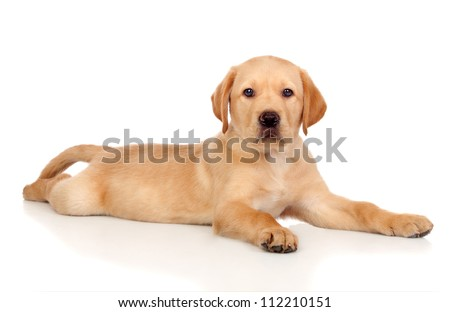 Beautiful Labrador retriever puppy isolated on white background - stock photo