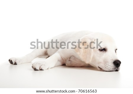 Beautiful labrador retriever puppy isolated on white background with a sleep look - stock photo