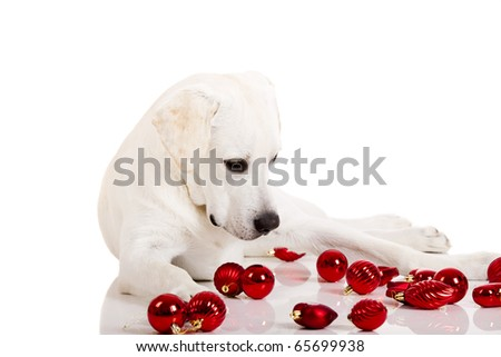 Beautiful Labrador retriever surrounded by Christmas balls, isolated on white background - stock photo