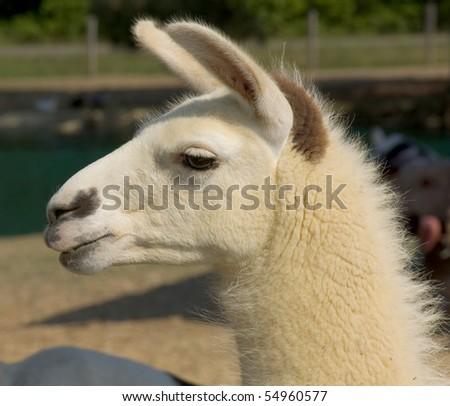 Beautiful lama portrait - stock photo