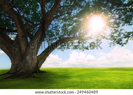 beautiful  land scape of big rain tree plant on green grass field and sun shine on blue sky use for natural background, - stock photo